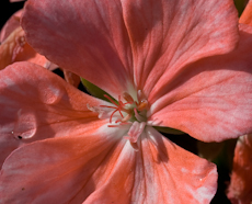 Geranium zonal patriot salmon chic  6260039