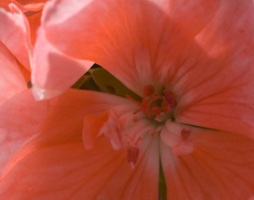 Geranium zonal patriot salmon chic  6260041