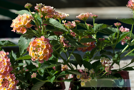 Lantana camara landmark peach sunrise  6260062