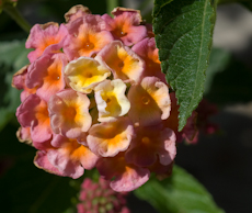 Lantana camara landmark peach sunrise  6260066