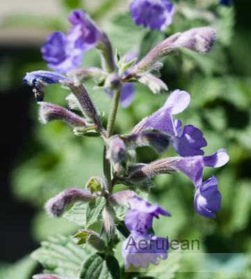 Nepeta racemosa walker's low  6260079