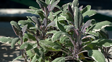 Salvia officinalis tricolor  6260058