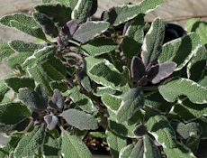 Salvia officinalis tricolor  6260059