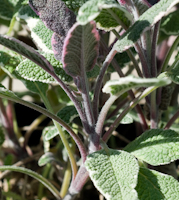 Salvia officinalis tricolor  6260065