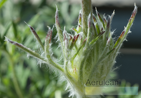 Pulsatilla vulgaris bells mix 4