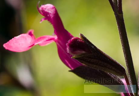 Salvia greggii navajo bright red  6260075