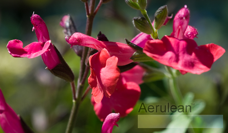 Salvia greggii navajo bright red 6260081