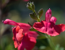 Salvia greggii navajo bright red 6260079
