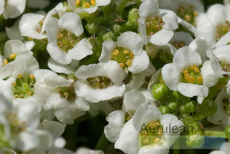 Lobularia maritima easter bonnet mix 4
