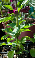 Salvia splendens salsa purple 6260062