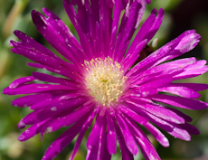 Lampranthus purple  6260012