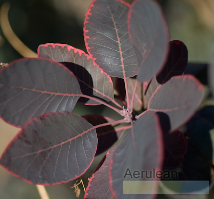 Cotinus coggygria royal purple  weg0012