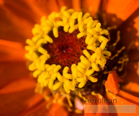 Zinnia species  weg0053
