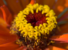 Zinnia species weg0048