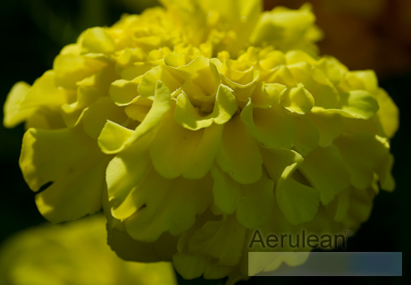 Tagetes erecta inca yellow  weg0028