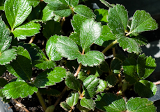 Fragaria vesca ornamental  weg0100