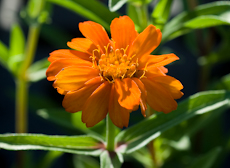 Zinnia x angustifolia profusion orange  weg0054
