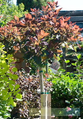 Cotinus coggygria royal purple weg0064