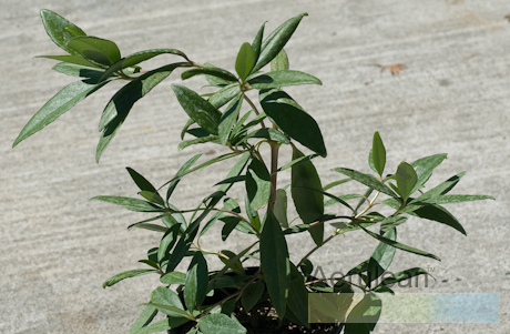 Carpenteria californica  weg0089