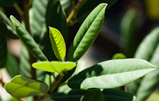Rhamnus californica eve case  weg0082