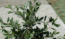 Rhamnus californica eve case  weg0084