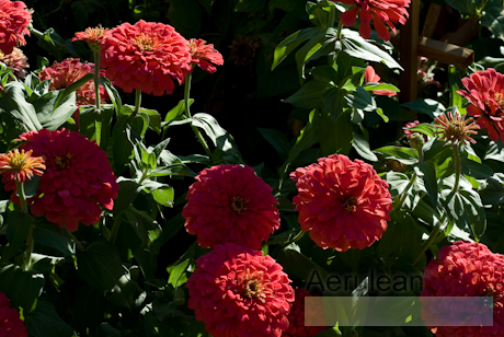 Zinnia species   weg0031