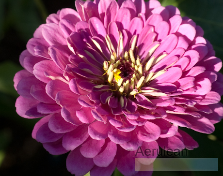 Zinnia species  weg0004