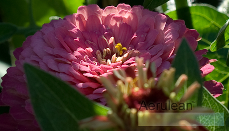 Zinnia species  weg0008