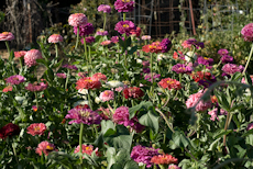 Zinnia species  weg0002