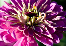 Zinnia species  weg0005