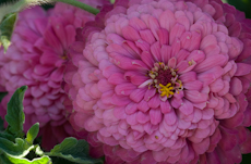 Zinnia species  weg0006