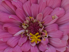 Zinnia species  weg0007