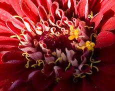 Zinnia species  weg0010