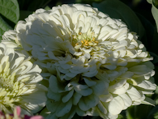 Zinnia species  weg0011