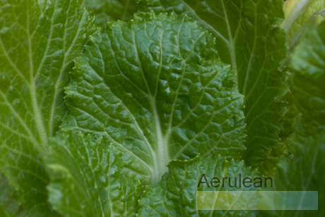 Brassica oleracea rubicon chinese cabbage  3