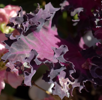 Brassica oleracea kale flowering red 3