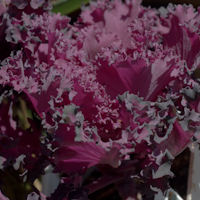 Brassica oleracea kale flowering red 4