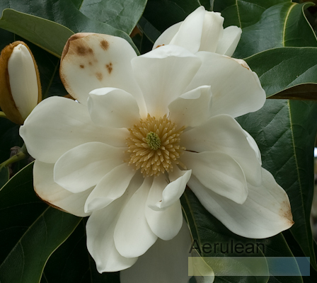 Magnolia species  weg0055 2