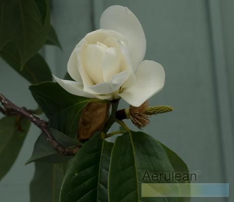 Magnolia weg0053