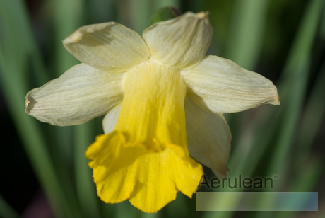 Narcissus ice follies  weg0082