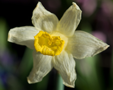 Narcissus ice follies  weg0083