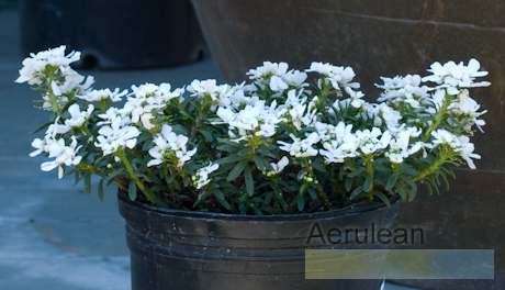 Iberis sempervirens purity  weg0015 2