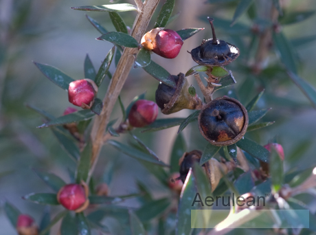 Leptospermum scoparium red ensign  3