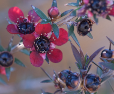 Leptospermum scoparium red ensign  2