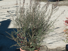 Leptospermum scoparium red ensign  8