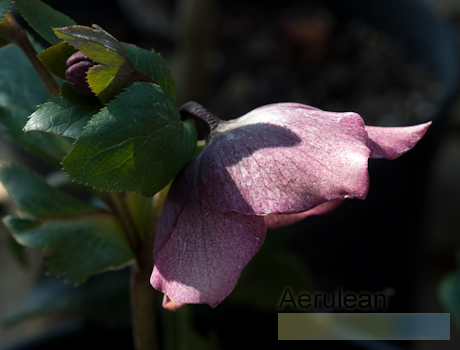 Helleborus courage 2