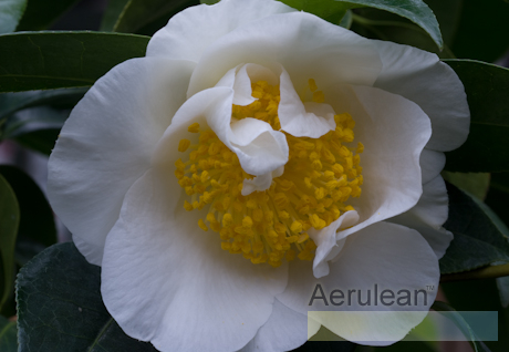 Camellia japonica silver waves 2 2