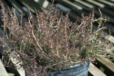 Erica cinerea cd eason 3