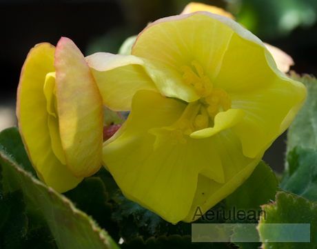 Begonia multiflora mini yellow  rog0032