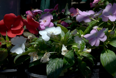 Impatiens new guinea  rog0044